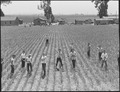San Lorenzo, California. Evacuation of farmers of Japanese descent resulted in agricultural labor s . . . - NARA - 536477.tif