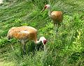Sandhill Cranes, Reiffel.jpg