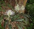 Sansevieria kirkii - inflorescences (5648845552).jpg