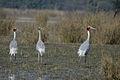 Sarus Cranes (2179462790).jpg