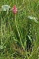 Satyrium hallackii subsp. ocellatum 2016 01 18 0353.jpg