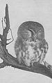 Saw whet owl 1914.jpg