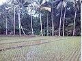 Sawah Bapaknya Isthiqomatul Qiromach di Dusun Sumberrejo, Desa Bandungrejo, Bantur, Malang - panoramio.jpg