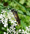 Sawfly. Tenthredo species - Flickr - gailhampshire.jpg