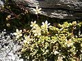 Saxifraga bryoides04.jpg