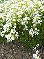 Saxifraga trifurcata 'Schrad.' (Saxifragaceae) plant.JPG