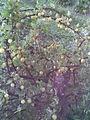 Saxifragales - Ribes uva-crispa 2 - 2011.07.11.jpg