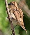 Scaly-breasted Munia (Lonchura punctulata) in Hyderabad, AP W IMG 1332.jpg