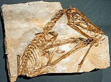 Scaphognathus crassirostris cast - Pterosaurs Flight in the Age of Dinosaurs.jpg