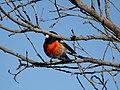 Scarlet Robin (35955484264).jpg