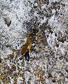 Sceliphron destillatorium. Sphecidae - Flickr - gailhampshire (1).jpg