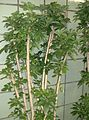 Schefflera arboricola2.jpg