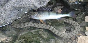 Dice snake - Natrix tessellata