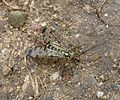Scorpion Fly. Panorpa sp. Mecoptera - Flickr - gailhampshire.jpg