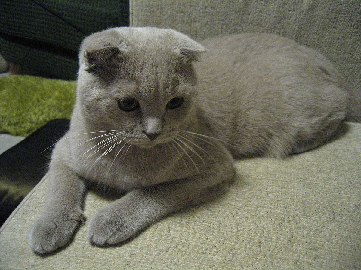 Scottish Fold Cat Winner Brittany Sp Ears
