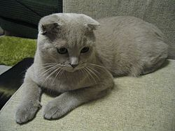 Scottish fold.jpg