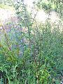 Scrophularia auriculata Habitus 2011-5-14 SierraMadrona.jpg