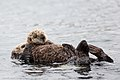 Sea Otter mother with older pup. (9139347588).jpg