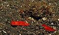 Sea Slugs (Platydoris sanguinea) (8460088127).jpg