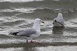 Seagull 9502 (9498666405) (2).jpg