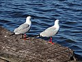 Seagulls (36396336600).jpg