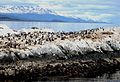 Seal and bird colonies in The Beagle Channel - Flickr - gailhampshire.jpg