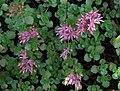 Sedum spurium a1.jpg