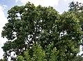 Semecarpus anacardium (Marking Nut) W IMG 1405.jpg