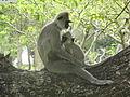 Semnopithecus priam (Anuradhapura) 04.JPG