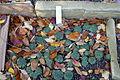 Sempervivum leucanthum - Botanischer Garten Braunschweig - Braunschweig, Germany - DSC04370.JPG