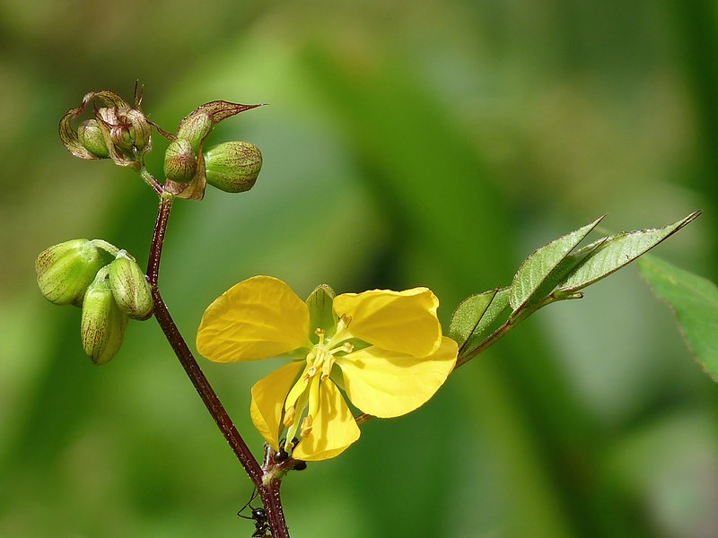 File:Senna occidentalis.jpg