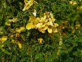Senna polyphylla (3053217470).jpg