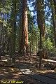 Sequoias (5631739293).jpg