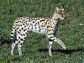 Serval (3075349593).jpg