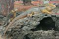 Sexual Dimorphism in Land Iguanas.jpg