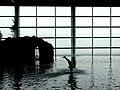 Shedd dolphin show.jpg
