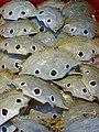 Shellfish for Sale - Tamsui - Taipei - Taiwan (32935474777).jpg