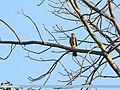 Shikra (Accipiter badius) (46557754002).jpg