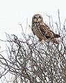 Short-eared Owl (50909452391).jpg
