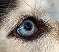 Siberian Husky eye.jpg