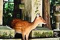 Sika deer in Nara 01.jpg
