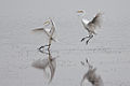 Silberreiher192ib2.jpg