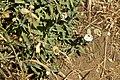 Silene uniflora subsp. uniflora-4425.jpg
