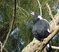 Singing Magpie.jpg