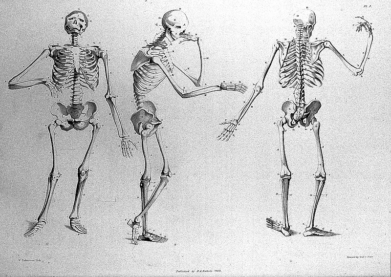 "File:Skeletons from ""Anatomical studies of bones..."", J. Flaxman Wellcome L0011906.jpg"