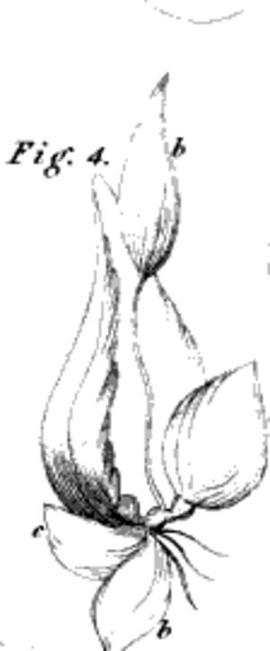 Maria Elizabetha Jacson - Iris Xiphium, from Sketches