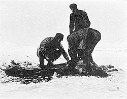 Three men, one standing, two bending down. The blood and flesh of the seal they are skinning shows as a dark patch against the snowy ground.