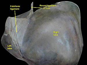 Round ligament of liver - Image: Slide 6UC