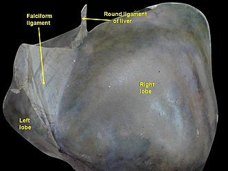 Round ligament of liver - Image: Slide 6UC