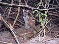 Small-spotted genet.jpg